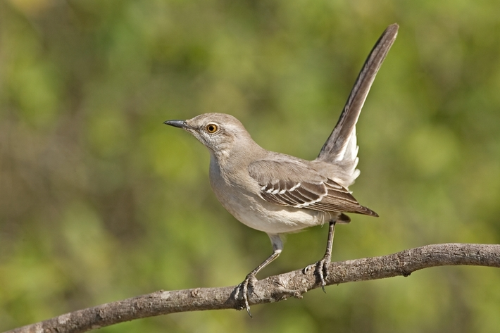 Northern Mockingbird, Martin Homestead Refuge, Edinburg, Texas